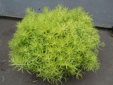 4″ Lemon Coral Sedum – Tristate Foliage