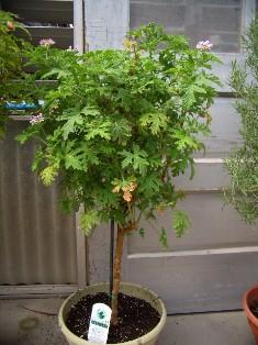 Mosquito Plant Citronella Scented Geranium Tristate Foliage